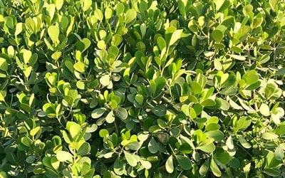 Clusia Hedges, Podocarpus Hedges, Buttonwood Hedges