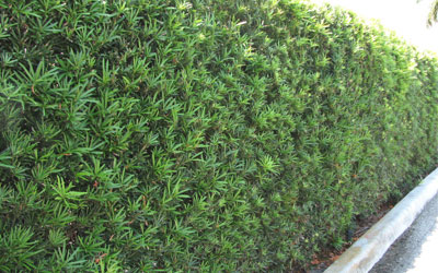 Privacy Hedges Miami And South Florida