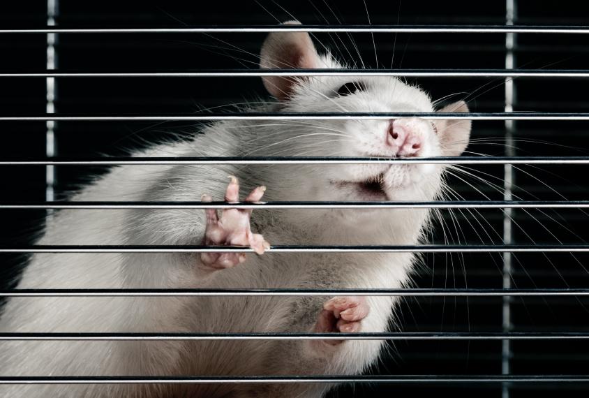 rat behind bars