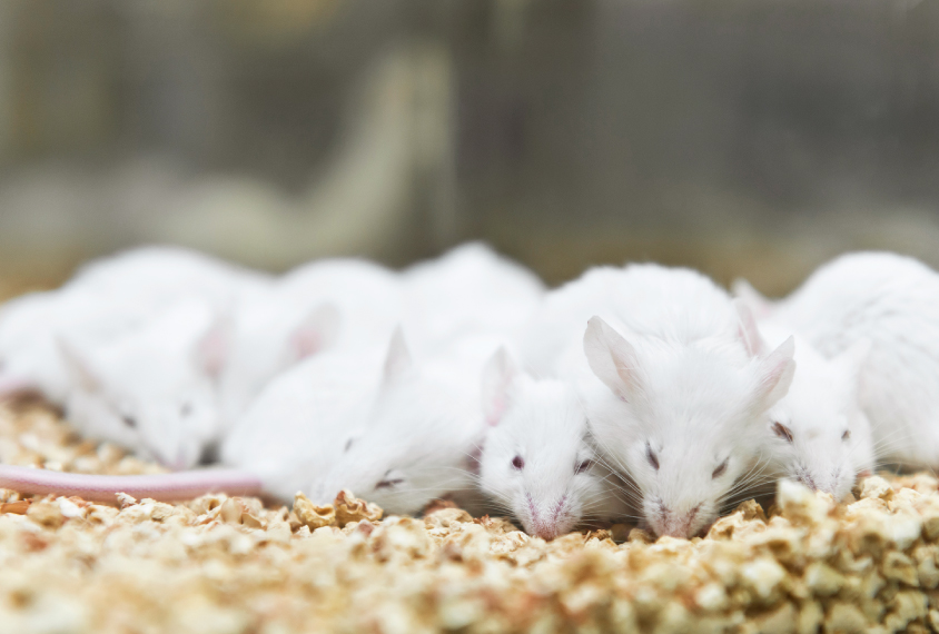 group of rats on wood chips