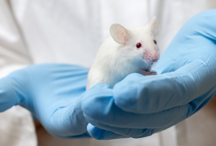 lab mouse in scientists hand with blue gloves