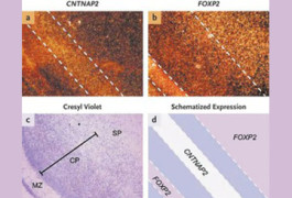 Exclusive expression: In the human fetal brain, the highest levels of CNTNAP2 in the cerebral cortex are seen between bands of FOXP2 expression. FOXP2 is present at high levels in the molecular zone, deep layers of the cortical plate, and subplate (subpanel b).