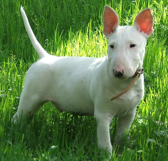 Model behavior: Bull Terriers, some of which compulsively chase their tails and stare off into space, might help find the genetic causes of autism.