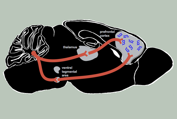 Studies Implicate Early Injury To >> Mounting Evidence Implicates Cerebellum In Autism Spectrum