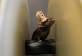 Tiny top hats: Mice sporting brain stimulators on their heads can balance on a rotating rod or run on a wheel.