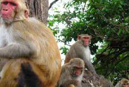 Monkey island: A free-ranging colony of hundreds of monkeys offers autism researchers a way to link complex social behaviors to genetics. Photo by Lauren Brent