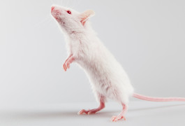 Softened squeaks: Mouse pups exposed to an antidepressant in the womb emit fewer and briefer calls when separated from their mothers than do control pups.©iStock.com/tiripero