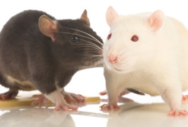Sniff test: Rats treated with a drug that blocks the hormone vasopressin spend more time sniffing other rats, a sign of improved social interactions.©iStock.com/nanka-stalker
