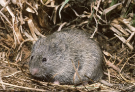 Prozac peril: Prairie voles exposed to fluoxetine in utero are more anxious and antisocial than their unexposed counterparts.© Tom McHugh / Science Source