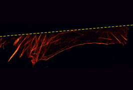 Death glow: Intense light from a microscope damages protein filaments near the surface of cells (above dotted line) but not those (red) that are farther from the light.