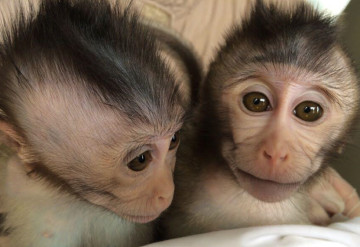 Monkey business: These baby monkeys inherited copies of an autism-linked gene from their genetically modified parents.Yan-Hong Nie