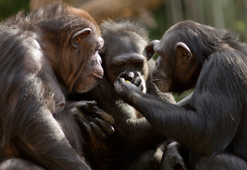 Give and take: Chimp chums unwittingly circulate microbes that keep them healthy. ©iStock.com / curioustiger