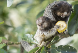 Social monkeys: Marmosets make a good model for autism because they have cooperative social behaviors, such as food-sharing.  Henrique Daniel Araujo / Shutterstock.com