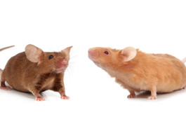 Social equals: Mice that carry a mutation in the autism gene CHD8 appear to be just as social as controls.    © shutterstock.com / Emilia Stasiak