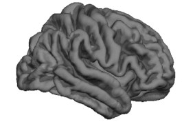 Neural wrinkles: The characteristic pattern of folds in the brain's outer shell, or cerebral cortex, is established before birth.