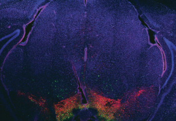 Lit up: Light stimulates dopamine neurons in the brain's reward center (red) and restores social behavior in mice.