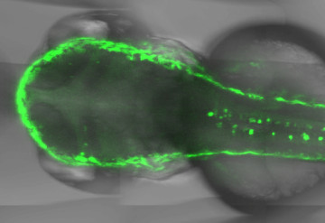 Dynamic duo: Two proteins (green) work together to fine-tune the activity of neurons in zebrafish.