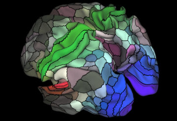 Mosaic mind: A new map of the brain's outer surface parcels each hemisphere into 180 areas, some of which govern hearing (red), sensation and movement (green) or seeing (blue).Matthew F. Glasser and David C. Van Essen / WUSTL