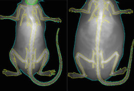 Weighty matter:  Mice lacking a gene called RAI1 in certain neurons (right) overeat and become obese.