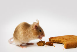 Rodent reward: Male mice with a deletion linked to autism have trouble figuring out what to do to get a food treat.   © Royce DeGrie / shutterstock.com