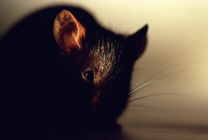 Black mouse in part shadow