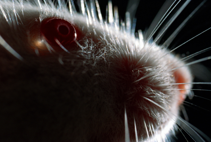 closeup of a mouse eye
