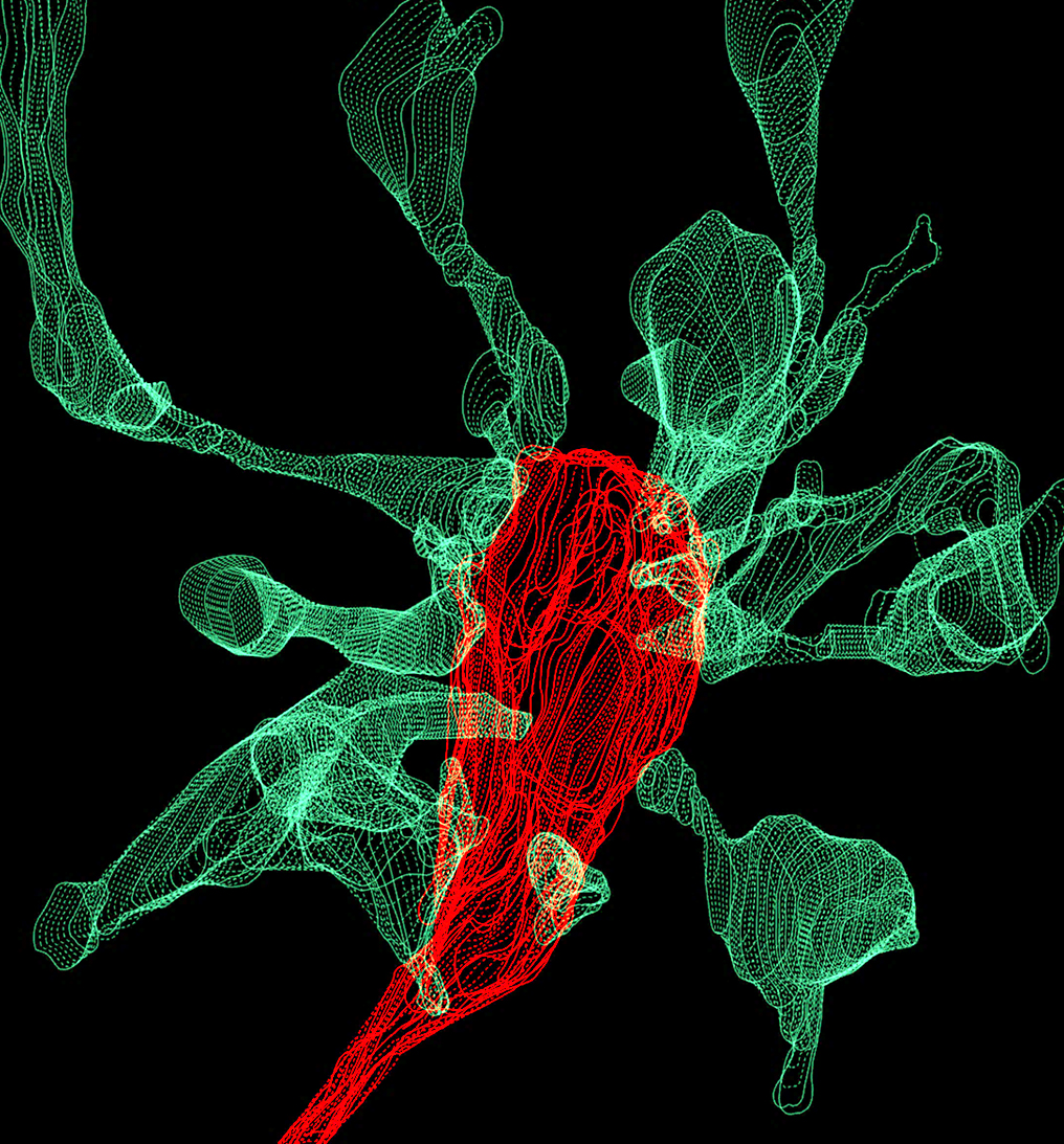 A microglia cell (red), touches the signal-receiving ends of neurons (green) in the brain