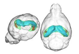 Mouse brain hippocampus