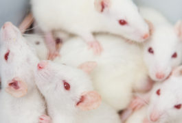 Rough and tumble: After exposure to pesticides, female rats shy away from play.   © niderlander / shutterstock.com