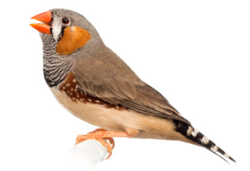 Bird song:  Zebra finches mimic their fathers' songs, much like children learn to speak. GlobalIP / iStock