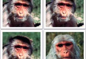 Unfamiliar faces: Baby monkeys that grow up to be loners show no reaction when a new monkey appears in a photo.