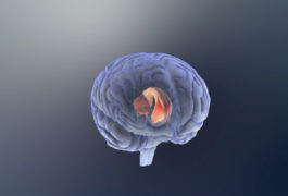 human brain showing the corpus callosum highlighted