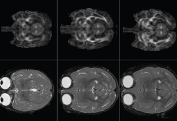 Monkey minds: Two different brain imaging techniques reveal the brain of a rhesus macaque at 2 weeks, 3 months and 6 months of age.