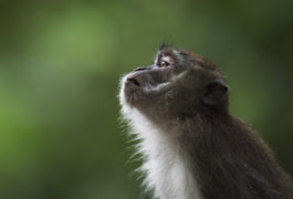 Macaque monkey in the wild