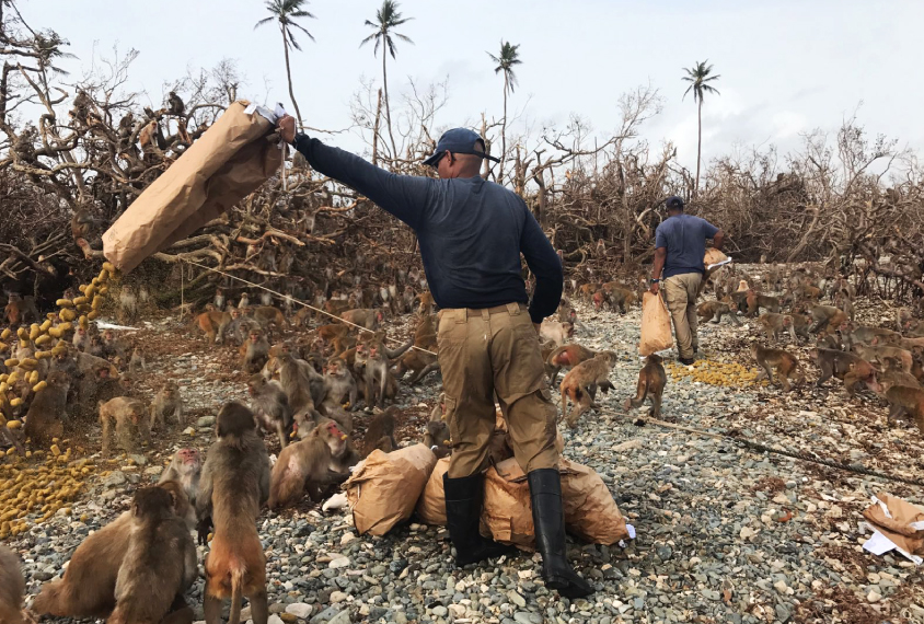 Julio Resto, lead caretaker on Cayo Santiago, dumps a bag of monkey chow. The storm leveled feeding corrals on the island.