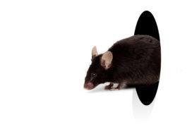 black mice exiting hole