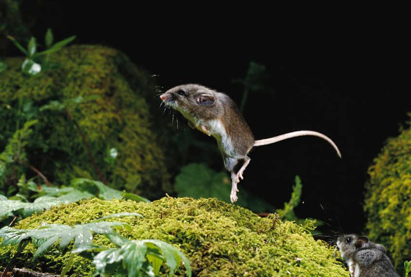 jumping mouse in the wild