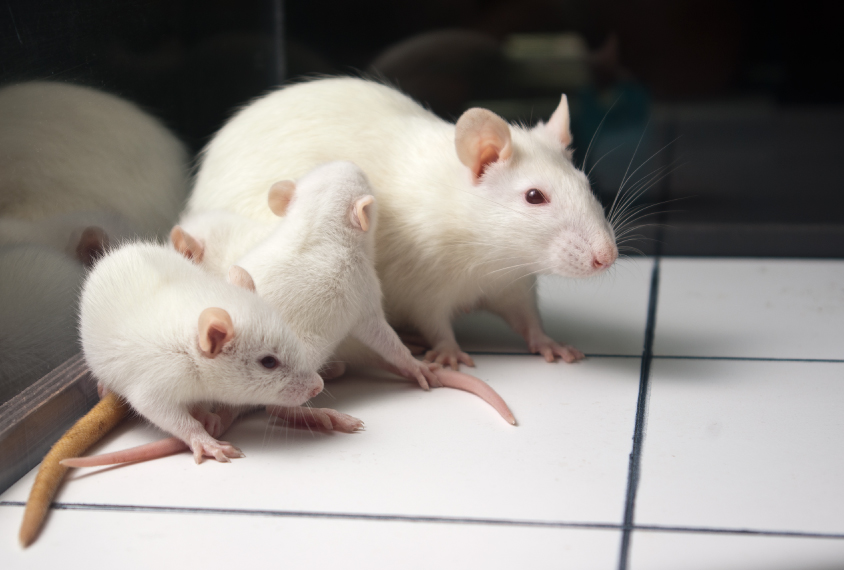 rat mother with rat pups