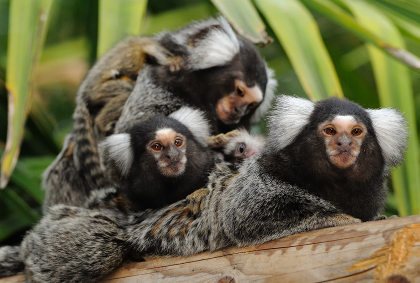 family of marmoset monkeys