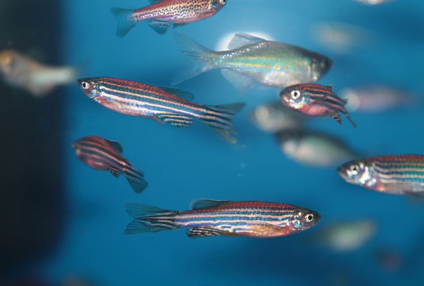 Zebrafish form large groups, called shoals,