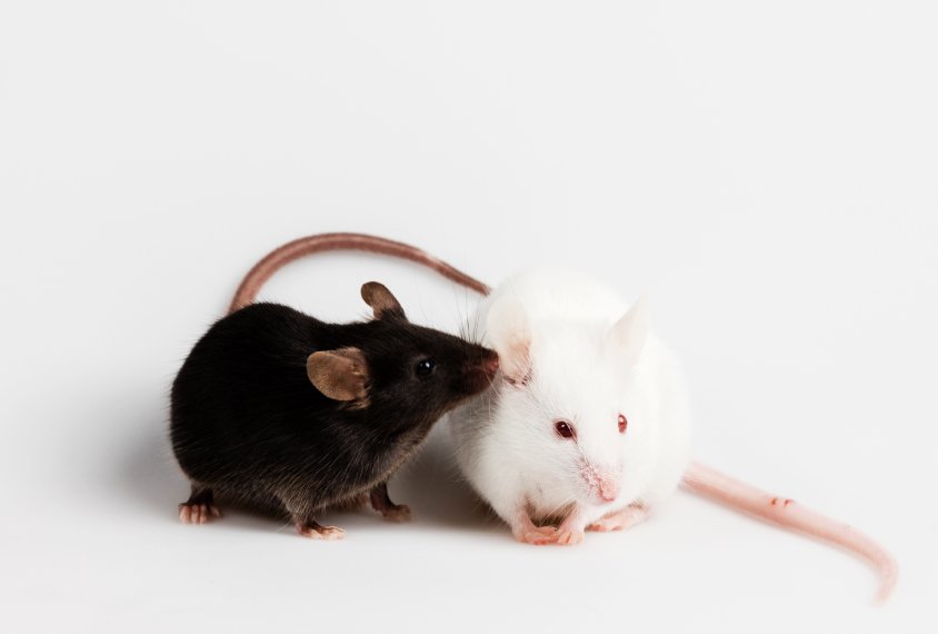 black rat and white rat