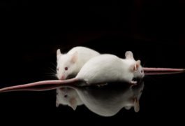 Two mice against black background