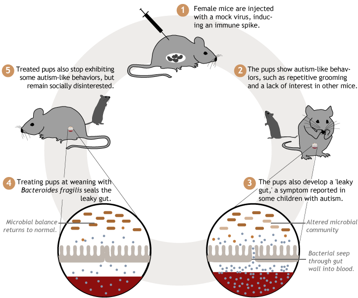 Graphic describing the process of inducing and treating leaky gut in rats