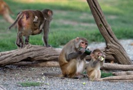 20141119sfnmacaques