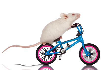 Resultado de imagem para RAto de bicicleta