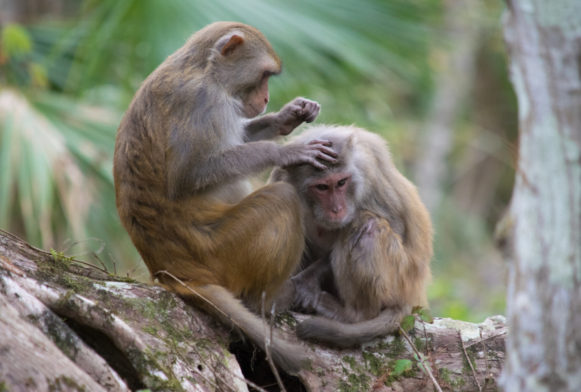 Monkey study bolsters case for brain hormone's role in