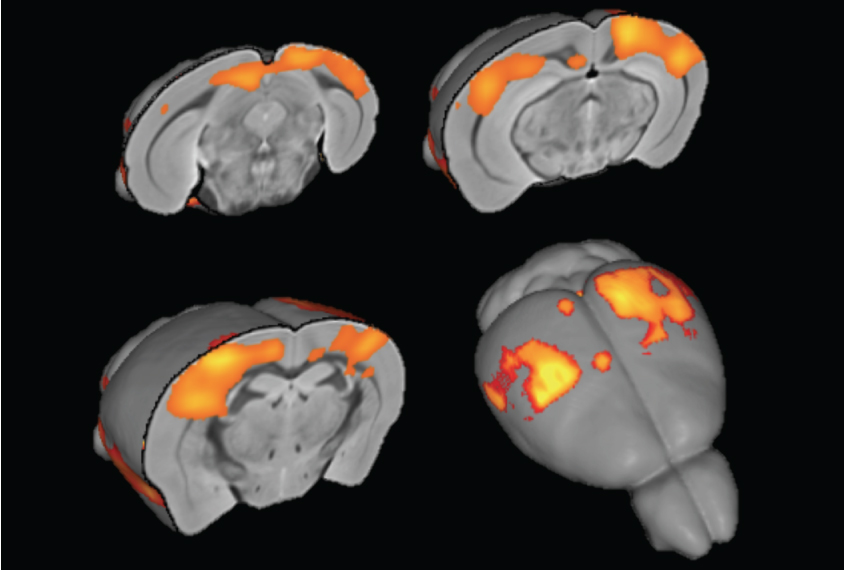 How Play Wires Kids Brains For Social >> Mice Missing Top Autism Gene Have Overconnected Brains