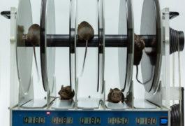 在旋钮上的实验室测试中的小鼠。