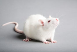 A white lab rat on a grey background.