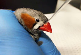 Zebra finch in a researcher's hand is given an oxytocin blocker.